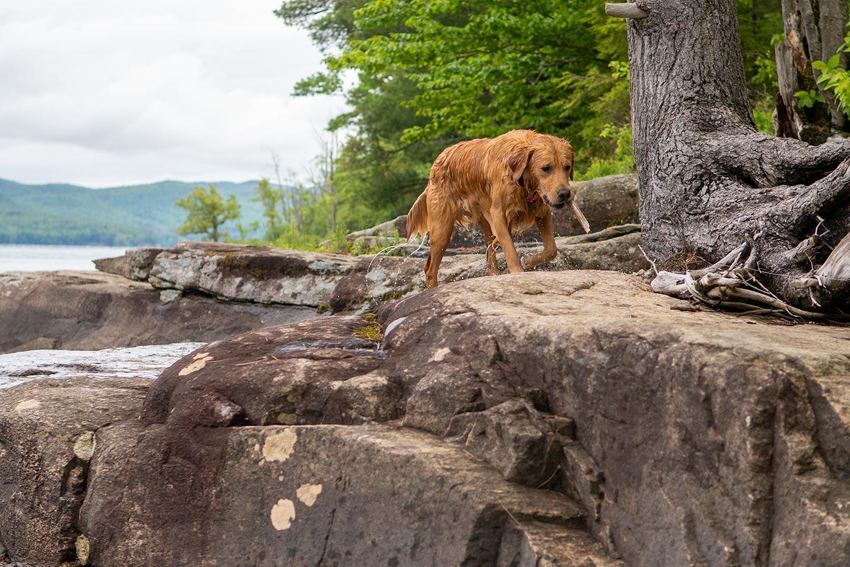 wild miles moose, golden retrievers in upstate ny