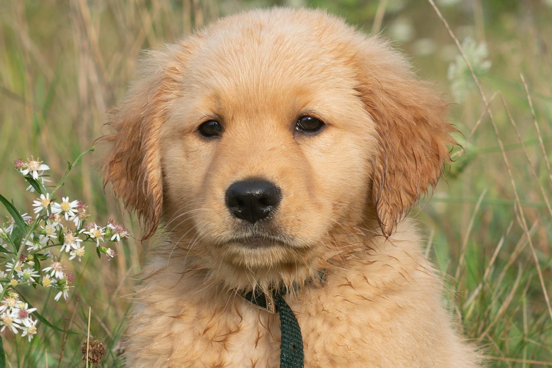 golden retriever puppy breeder upstate ny mike hosier