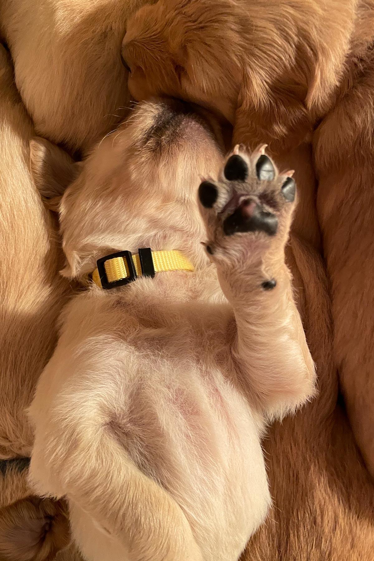 golden retriever puppies by mike hosier