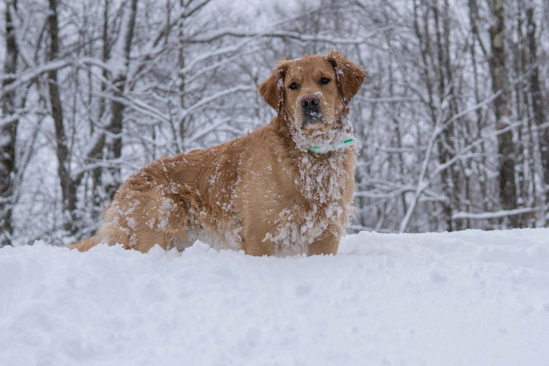 Marty Moose, deep snow adirondacks