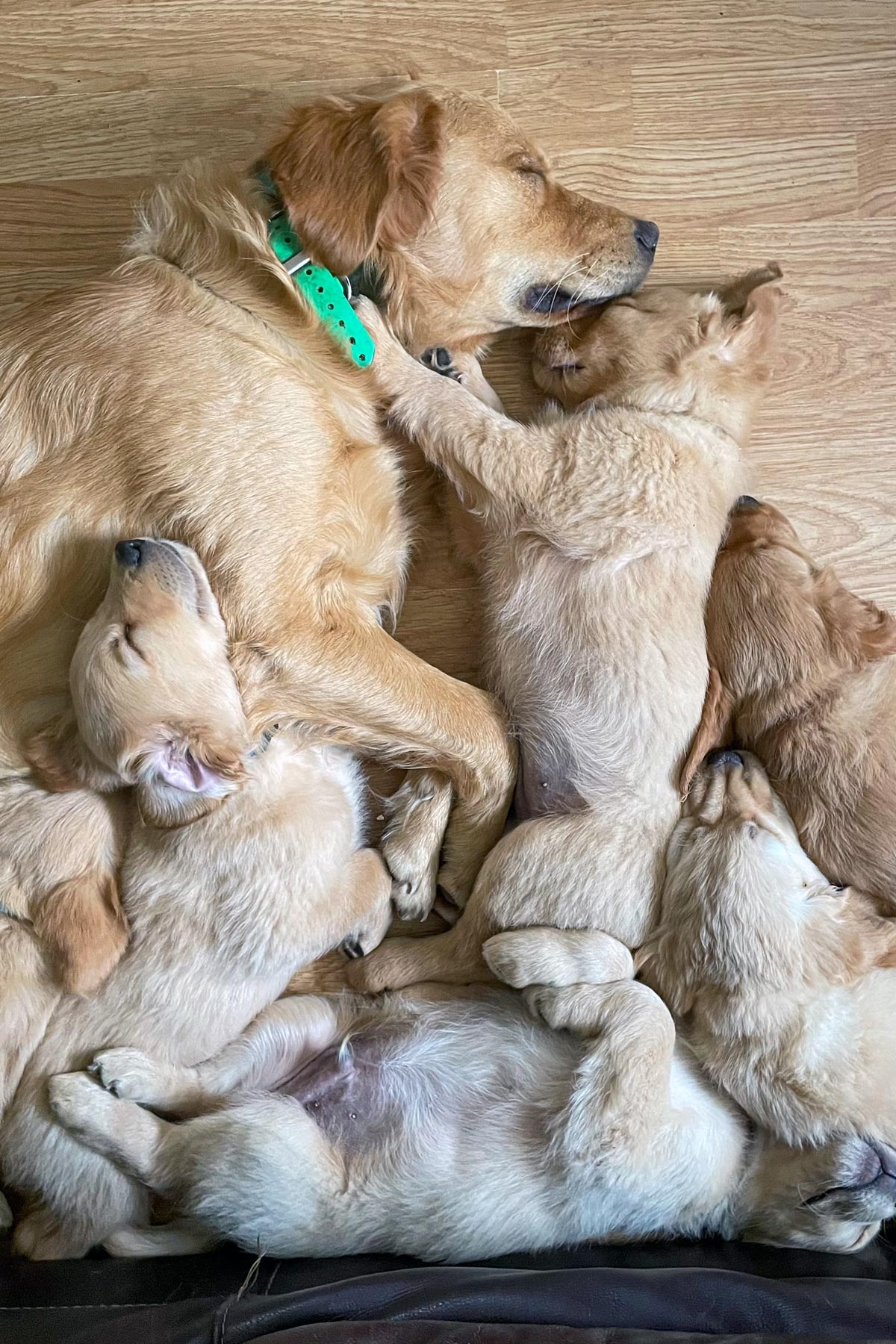 golden retriever puppies sleeping with adult dog by mike hosier
