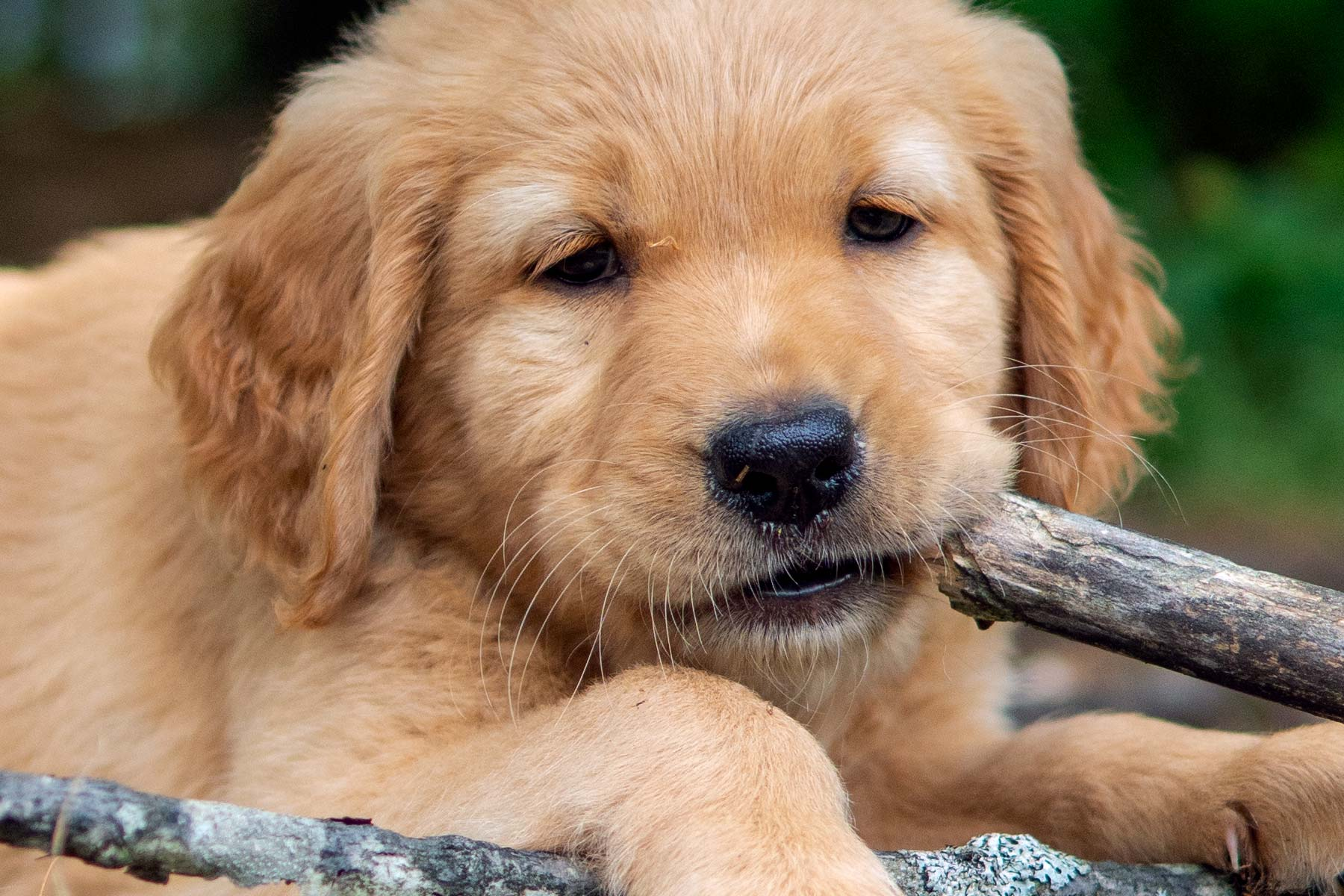 Mocha Moose Puppy with stick