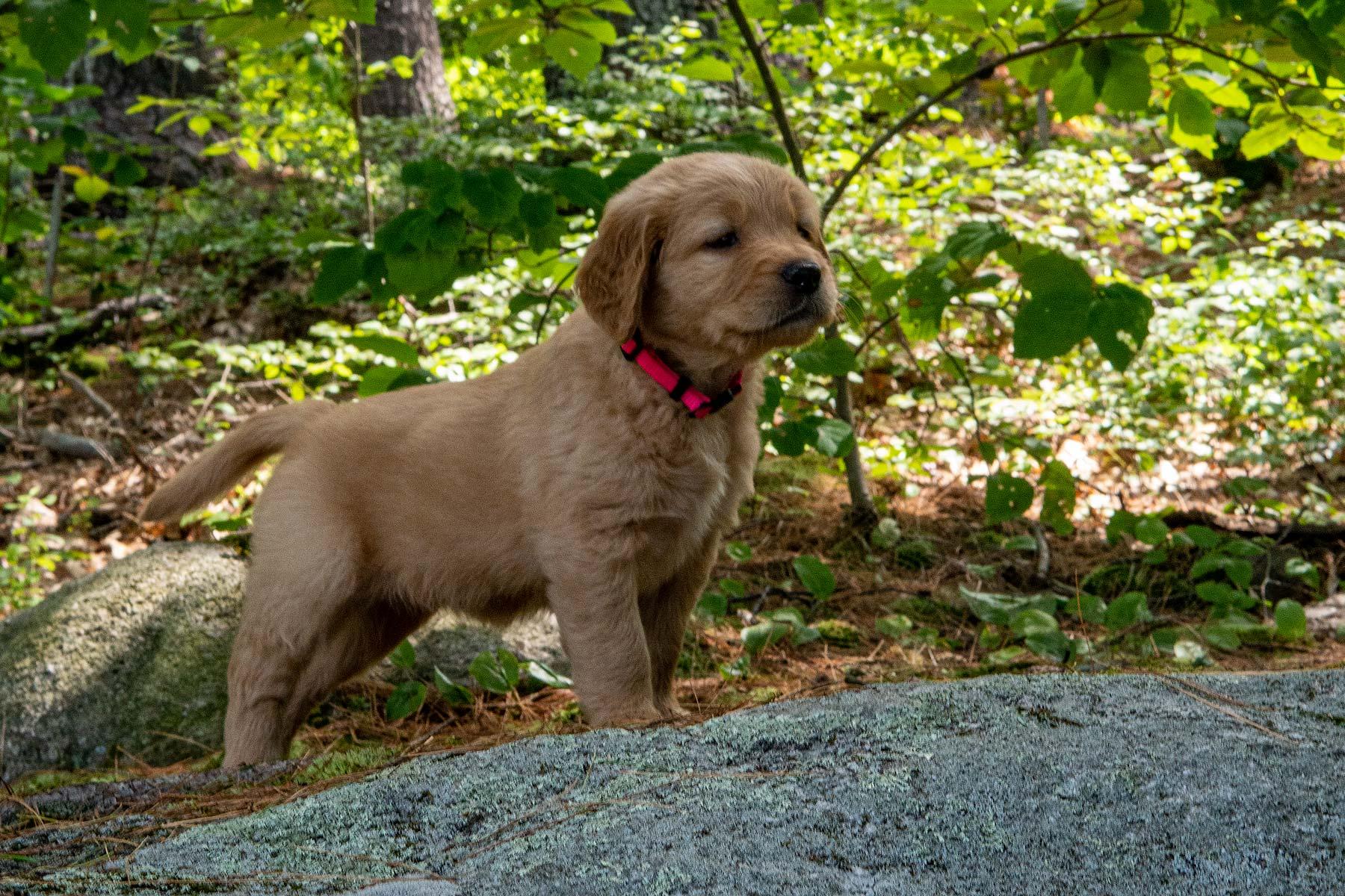 Mocha Moose Puppy