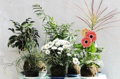 Kokedamas plantas