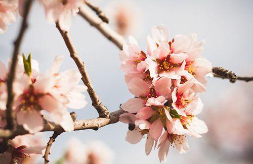 flores almendro quinta de los molinos madrid primavera