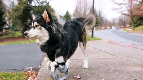 derby perro protesis impresion 3d