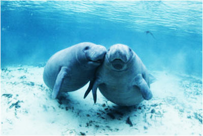 Crystal-River-Manatees