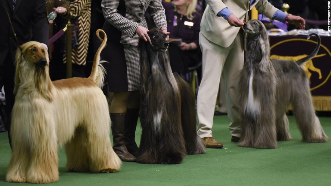 160216151501-10-westminster-dog-show-super-169