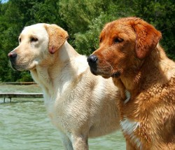 Red-Labrador-Retriever-next-to-Yellow-250x214