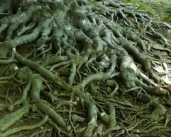 Kořenový systém stromu ze skupiny památných stromů Sedm buků v Hukvaldské oboře.