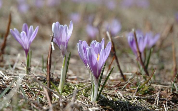 Šafrán bělokvětý (Crocus albiflorus L.) patří každoročně mezi první posly jara. Foceno na Vařákových pasekách.