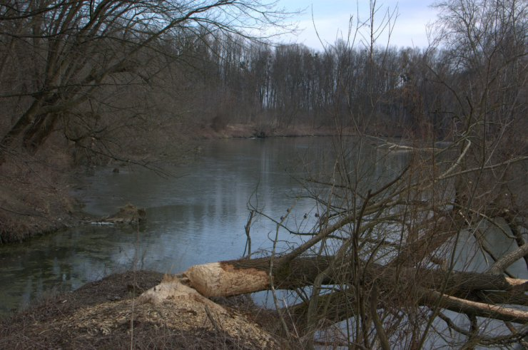 Mojena u Otrokovic vtéká do slepého ramena řeky Moravy. Na spodním tok jsou výrazné poškození bobrem evropským (Castor castor).