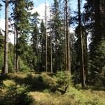Horské třtinové smrčiny (Svaz Piceion abietis)