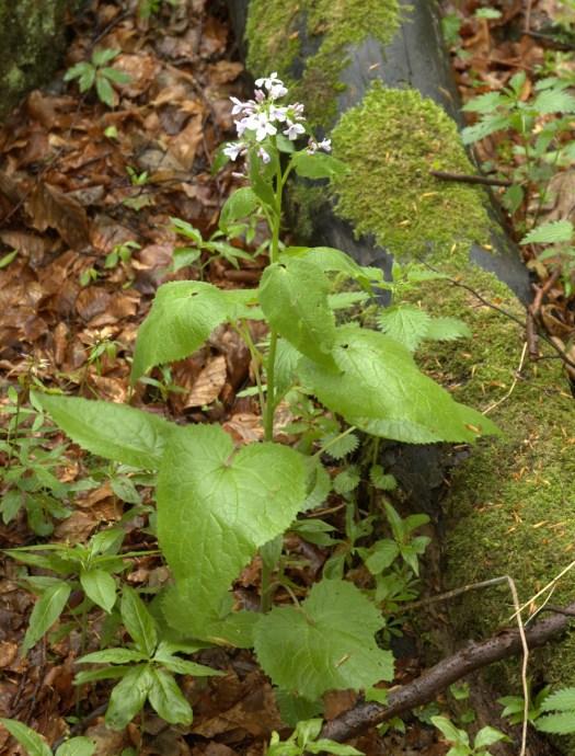 Měsíčnice vytrvalá (Lunaria rediviva L.) v PR Smrdutá.