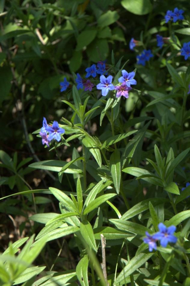 Kamejka modronachová (Lithospermum purpurocaeruleum, syn. Buglossoides purpurocaerulea) v PR Vrchové, lokalita (Prakšice, Prakšická pahorkatina, PLO 38.