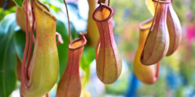pitcher plant and eating disorders (1)