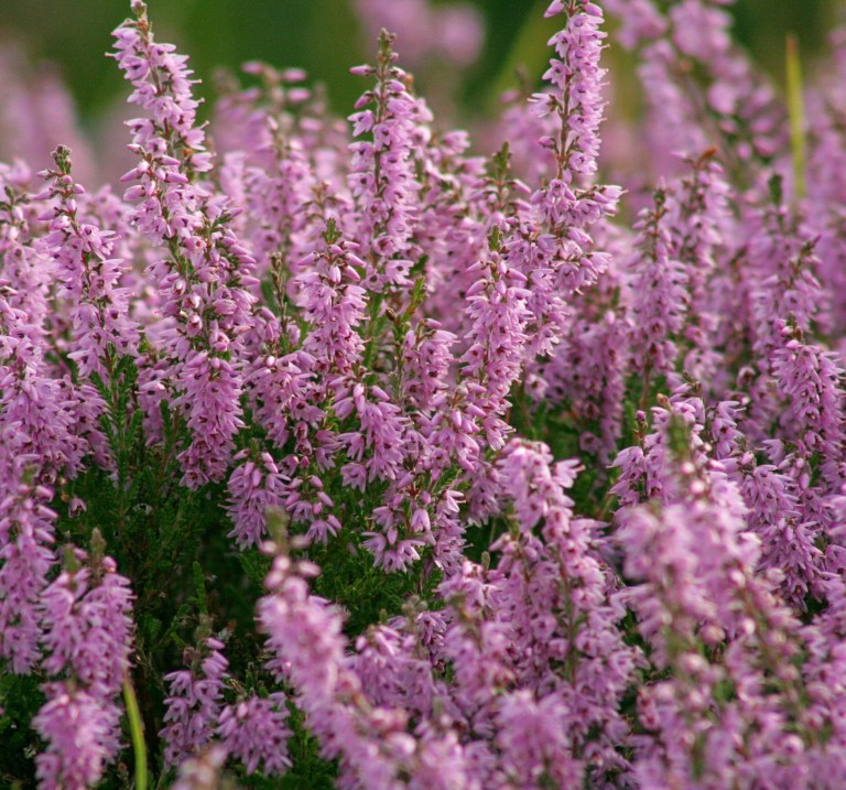 Heather in the Highlands