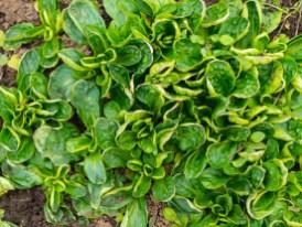 Frühlingsrezept mit Feldsalat_Vogerlsalat