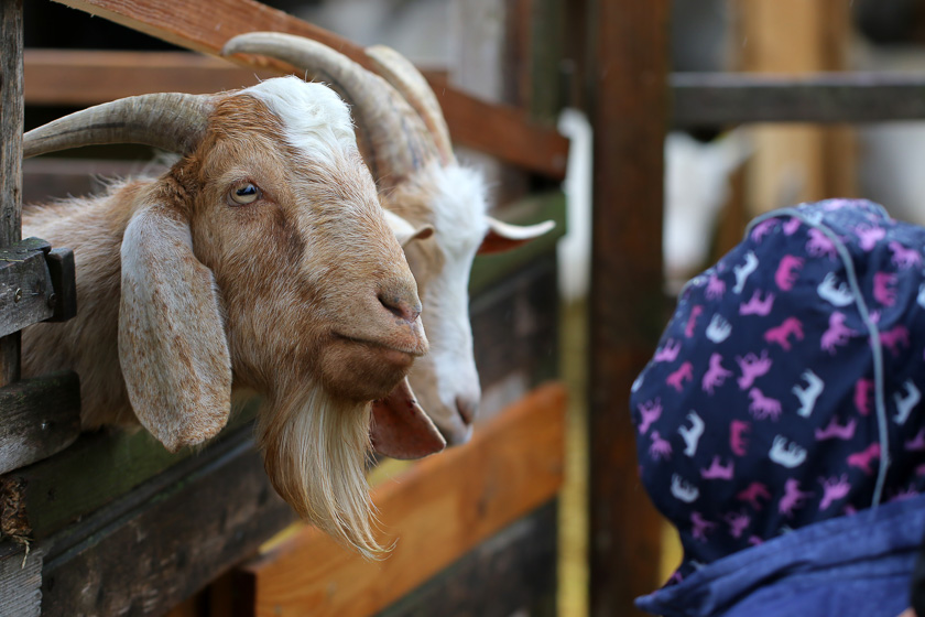 Kochevent Familienküche_Ziegenhof Ziegenliebe Markt der Erde
