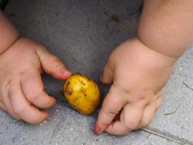 Familienrezept für Omas Mohnnudeln_Kartoffeln anbauen