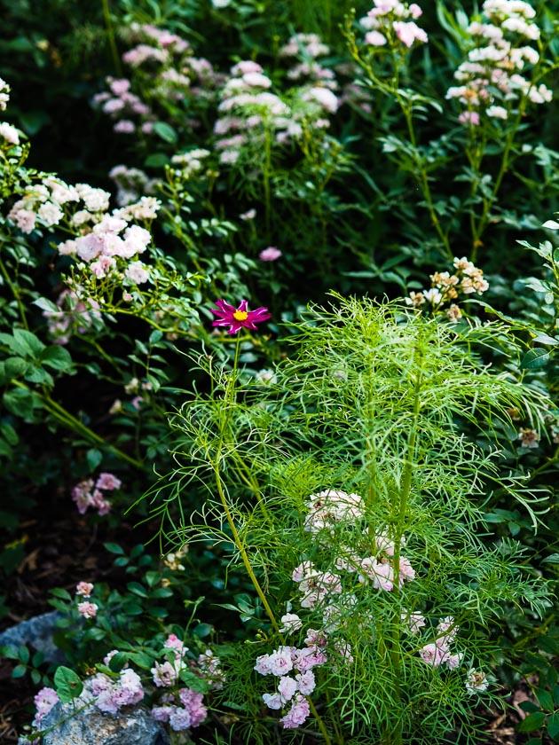 """Familiengarten für """"Faule""""_Cosmea"""