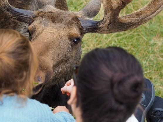 Südschweden mit Kindern_Elch Safari