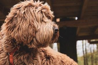 Hund als Haustier-12