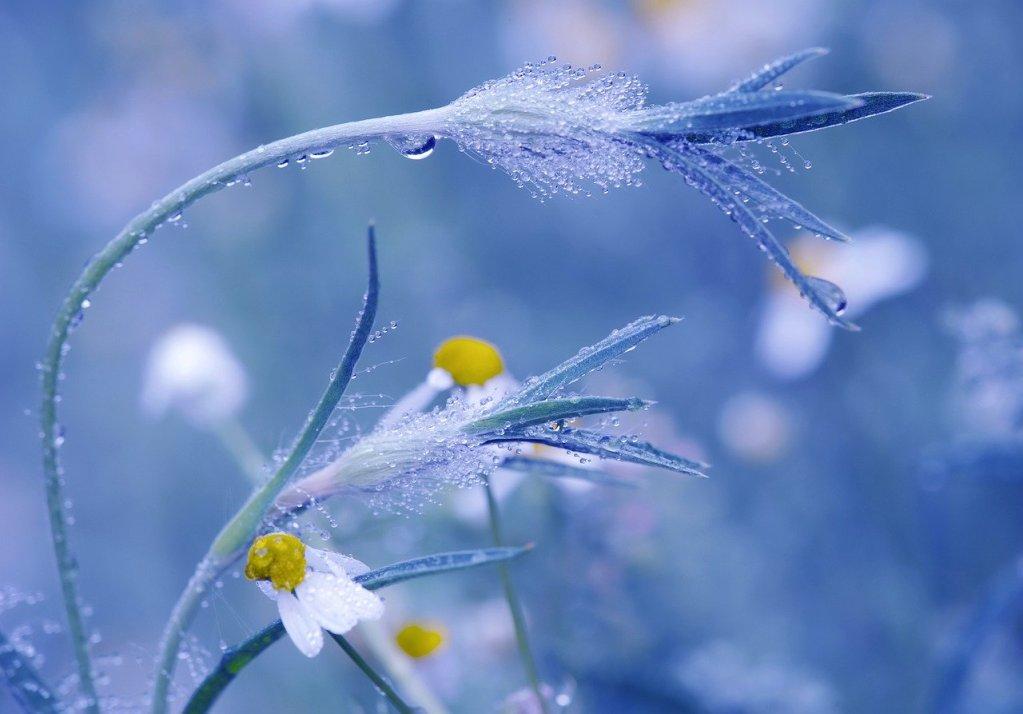 meadow, chamomile, flowers