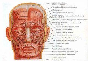 Músculos faciales de frente que influyen en la estética, masticación, respiración y sellado labial, plano superficial. Que relacionanan estética facial y boca