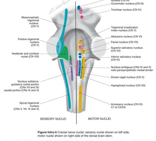 Relación entre los nervios craneales, el Trigémino y las ...