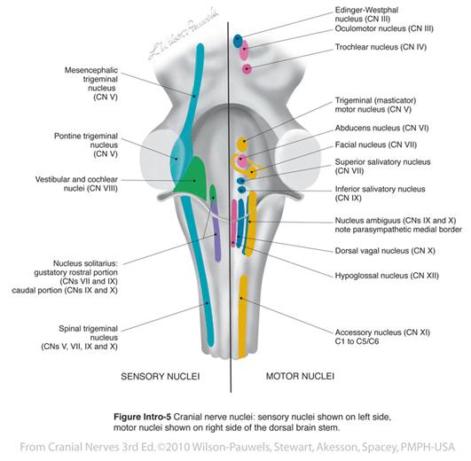 Esquema de los núcleos de los nervios craneales, sensitivos a la derecha y motores en la izquierda