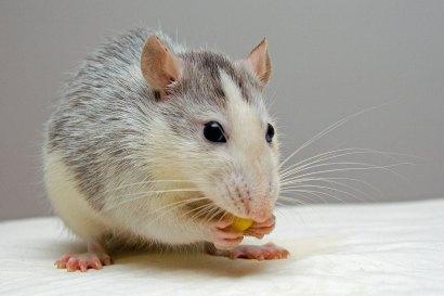 rat-440987_1920