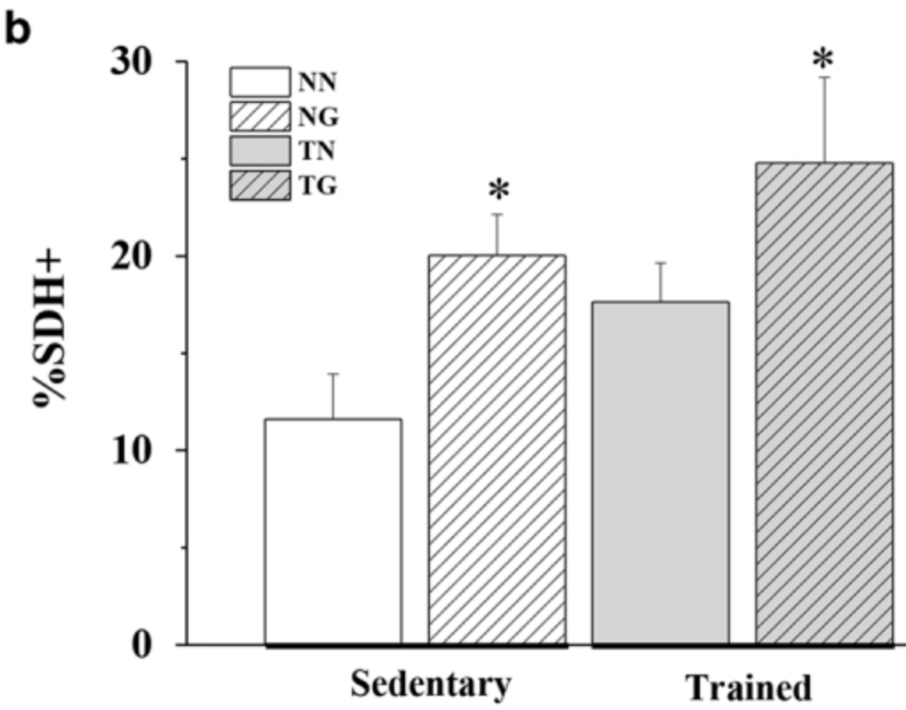 The effects of GW501516 on SDH-positive fibres in skeletal muscle of sedentary and trained KM mice