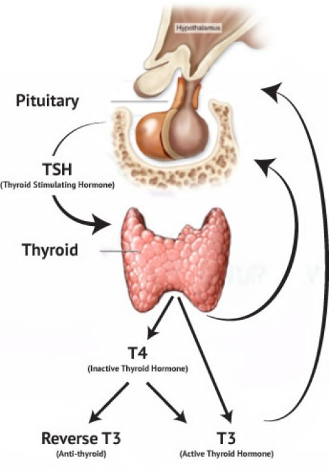 thyroid physiology convert T4 to T3