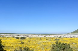 West Coast National Park in South Africa Yellow Wildflowers Field
