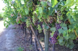 Grapes in Wine in Riebeek Kasteel Valley
