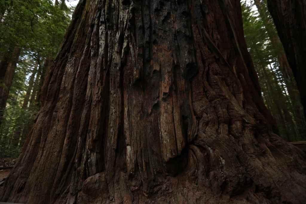 redwood tree trunk redwood national park
