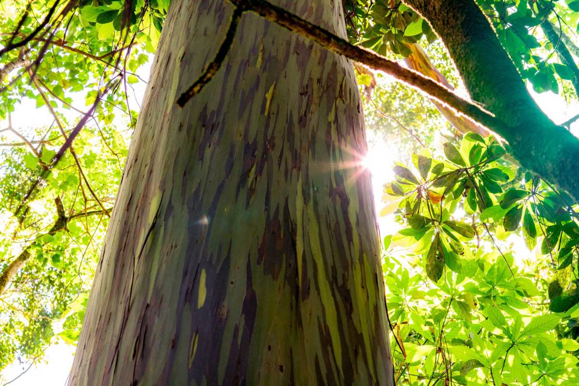 haleakala rainbow eucalyptus tree maui