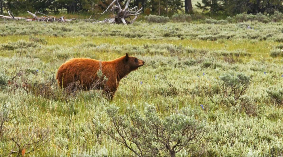 black bear grand teton national park bear