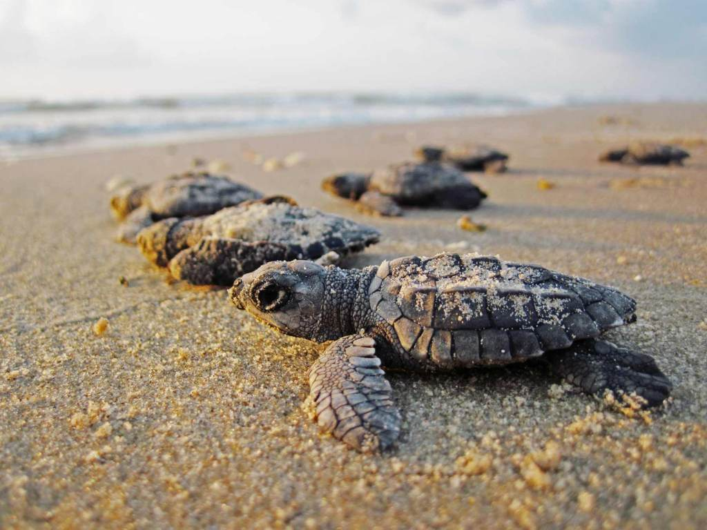 kemps ridley sea turtle gulf islands national seashore mississippi