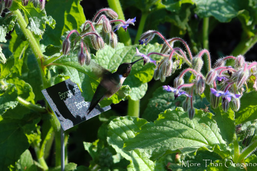 Hummingbird feeding on borage