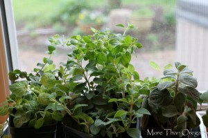 5 Flowering Oregano Varieties To Plant Now