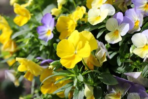 Violas ~ Cool Weather Darlings