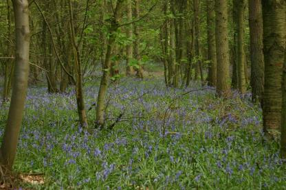 Badby_Bluebells_27_april_2014_03
