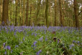Badby_Bluebells_27_april_2014_13