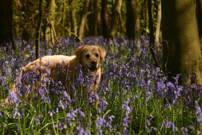 Badby_Bluebells_27_april_2014_26