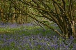 Everdon_Stubbs_Woods_3_may_2014_07