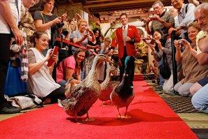 The Peabody Ducks