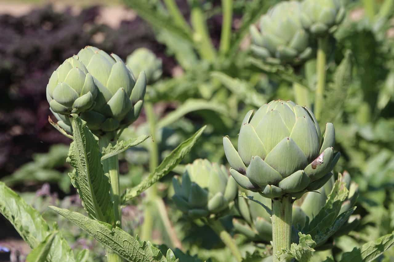 Growing Artichoke Plants