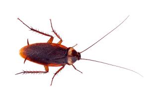 cockroach-1